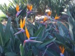 Birds of Paradise in Xalapa Mexico