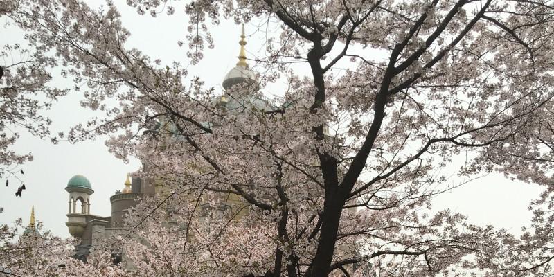 Cerisiers en fleurs à Séoul